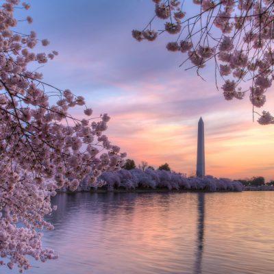 Cherry-Blossoms-Dennis-Govoni-56cb3b173df78cfb379b7b91